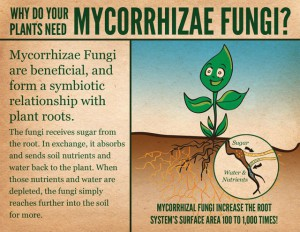 Why do your plants need mycorrhizae fungi?