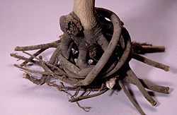 Abnormal Root System