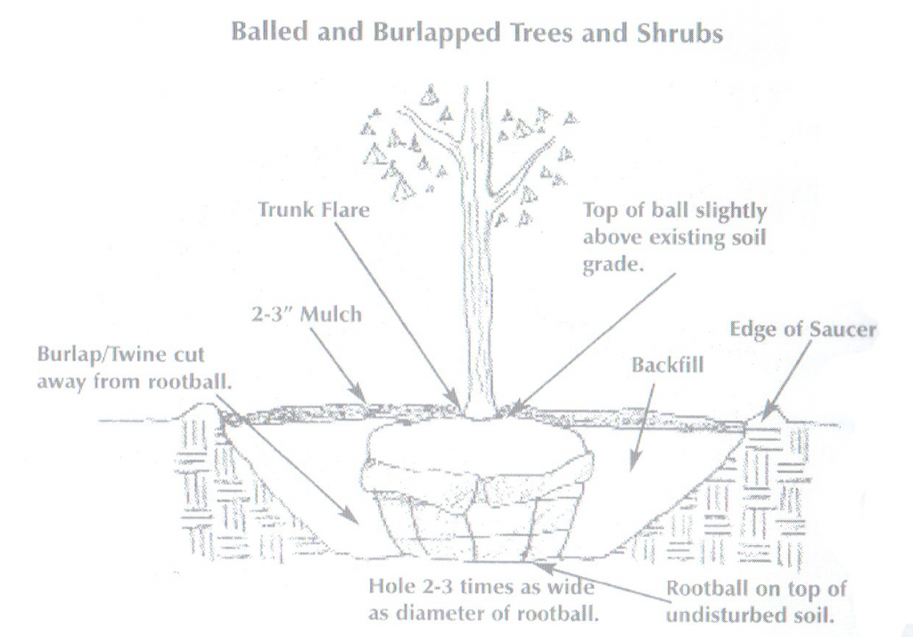 Ball and Burlapped Trees and Shrubs