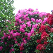 Healthy Rhododendron
