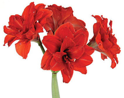 Year-Round Amaryllis Care