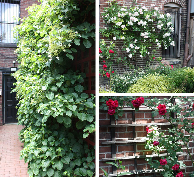 Climbing Plants for City Gardens