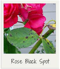 Rose-Black-Spot-garden-diseases