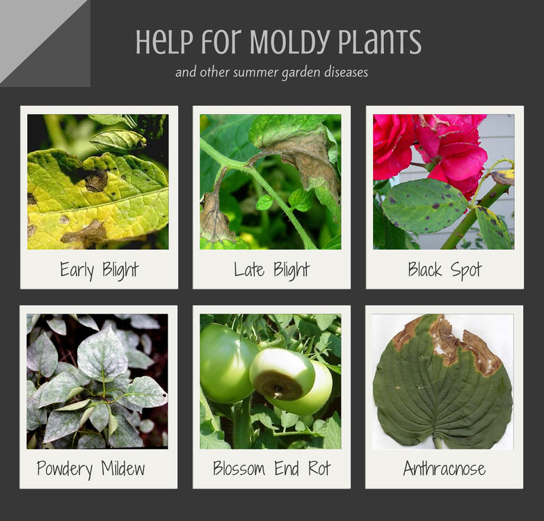Summer Garden Diseases - Moldy Plants and their Treatment