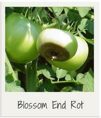 blossom-end-rot-garden-diseases