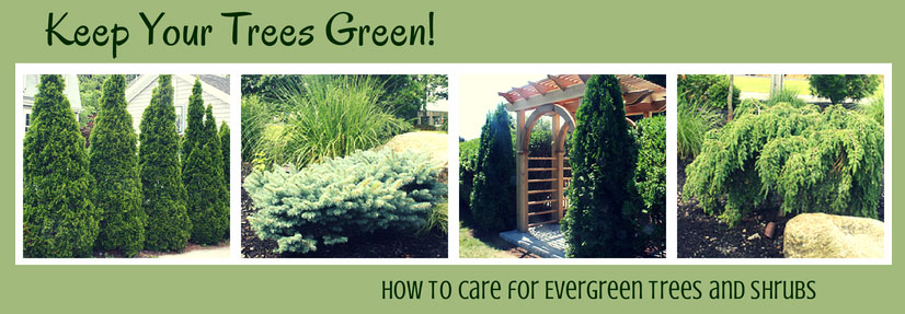 How to Care for Your Evergreen Trees and Shrubs