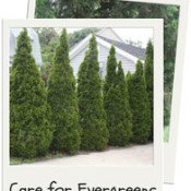 How to Care for Evergreen Trees and Shrubs