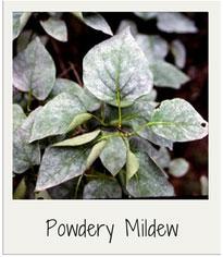powdery-mildew-garden-diseases